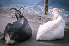 Geiten bovenop onderstel Floyen bergen stock foto's