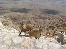 Geiten in de woestijn, Tarim bassin, Xinjiang, China stock foto's