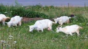Geiten die in het gras weiden stock footage