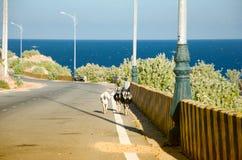 Geiten die langs de kronkelige weg in de kustklippen lopen royalty-vrije stock foto