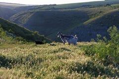 Geiten die op de heuvel bij zonsondergang weiden Stock Afbeeldingen