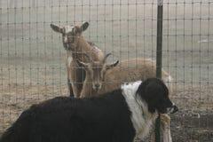 Geiten en hond op het landbouwbedrijf Royalty-vrije Stock Afbeelding