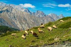 Geiten en schapen die op Heuvel weiden stock foto's