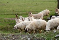 Geiten en sheeps het weiden op het gebied Stock Afbeeldingen