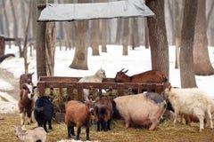 Geiten en varkens bij landbouwbedrijf Royalty-vrije Stock Afbeelding