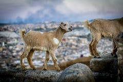 Geiten in Fes, Marokko stock afbeelding