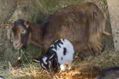 Geiten in het landbouwbedrijf Stock Foto