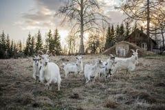 Geiten in het platteland royalty-vrije stock fotografie
