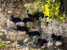 Geiten in Limyra, Turkije Stock Foto