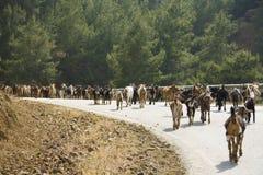 Geiten op de weg, Cyprus Stock Afbeelding
