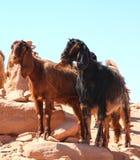 Geiten in Petra, Jordanië Royalty-vrije Stock Afbeelding