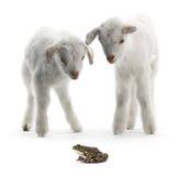 Geitjong geitje en kikker Stock Afbeelding