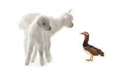 Geitjong geitje en mandarin eend Stock Afbeeldingen