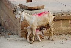 Geitjonge geitjes die van verse melk genieten dichtbij de rivier van Ganges in India royalty-vrije stock fotografie