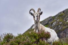 Geitportret, Noorwegen, geit het stellen voor beelden Stock Fotografie