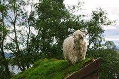 Geitportret in Senja Noorwegen, die voor beelden stellen Stock Foto's