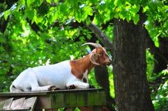 Geitspeelplaats - Witte en Bruine Geit met Hoornen Stock Foto
