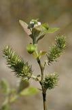 Geitwilg - Salix-caprea Royalty-vrije Stock Foto