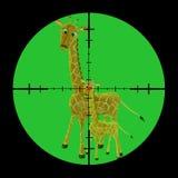 Gejaagde giraffen Stock Foto