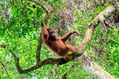Gekühlter heraus junger Orang-Utan, der im Regenwald sich entspannt Lizenzfreies Stockbild