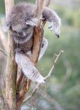 Gekühlter heraus Koalabär lizenzfreies stockbild