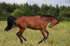 Gek paard Stock Afbeelding