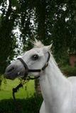 Gek paardportret stock afbeelding