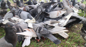 Gekaapt voedsel duiven Royalty-vrije Stock Afbeeldingen