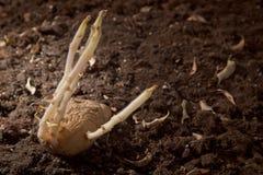 Gekeimte Kartoffeln im Boden Stockfotos