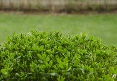 Gekeimte Kichererbsen im organischen Boden über natürlichem Hintergrund Lizenzfreie Stockfotos