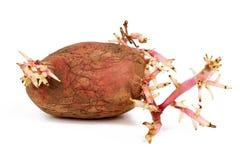 Gekeimte rosa Kartoffel lokalisiert auf weißem Hintergrund Stockfotos