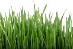 Gekeimte Samen des Hafers, grünes Gras stockfotografie