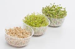 Gekeimte Startwerte für Zufallsgenerator der Kresse, Rettich, Weizen Stockbilder