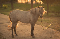 Geketend paard op het landbouwbedrijf Royalty-vrije Stock Foto's