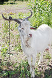 Geketende jonge geit Royalty-vrije Stock Foto's