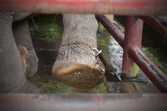 Geketende olifant royalty-vrije stock foto