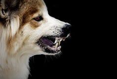 Gekke de hond dreigt toont de hoektanden het kwijlen hebben is een symptoom van hondsdolheid stock fotografie