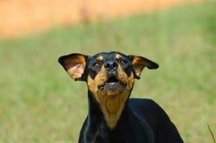 Gekke Hond Stock Afbeeldingen