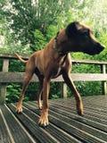 Gekke hond royalty-vrije stock fotografie