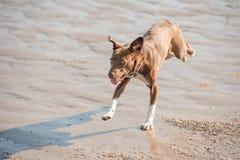 Gekke strandhond Stock Foto