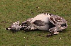 Gekke zebra Royalty-vrije Stock Foto's