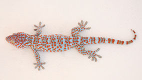 Gekko ή gecko στοκ φωτογραφία