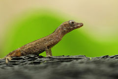 Gekko Royalty Free Stock Images