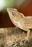 Gekko close up. Of the dominican republic royalty free stock images