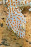 Gekko de la salamandra Imagen de archivo libre de regalías