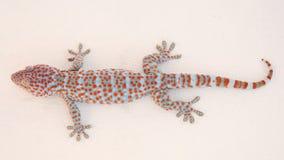 Gekko or gecko Stock Photography