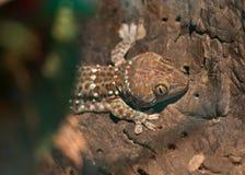 Gekko gecko. Beautiful gekko gecko hiding behind the bushes on the tree stock images