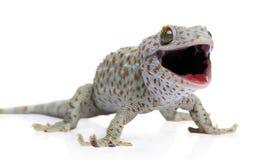gekko gecko tokay Стоковое Фото