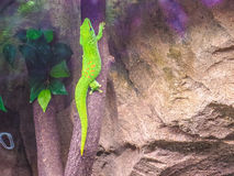 Gekko Stock Photography