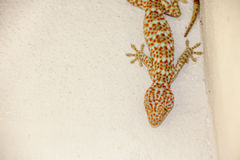 Gekko. In the house lives in Thailand, a gecko on the wall stock photos